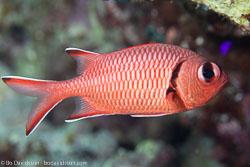 BD-131208-Daedalus-0963-Myripristis-murdjan-(Forskål.-1775)-[Pinecone-soldierfish.-Röd-soldatfisk].jpg
